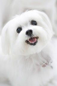 sweet little maltese   ...........click here to find out more     googydog.com