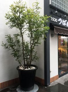 FUGA GREEN | F U G A Japanese Indoor Plants, Interior Plants, Japanese Design, Planters, Gardening, Balcony, Life, Potted Garden, Indoor Plants