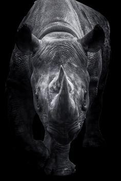 Black Rhinoceros Walking Towards You by Jukka Heinovirta