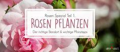 Rosen pflanzen - so geht's richtig!