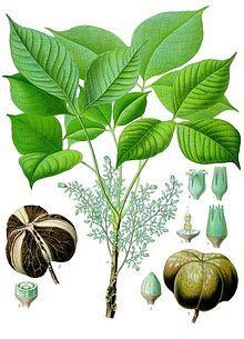 Hevea brasiliensis - Köhler–s Medizinal-Pflanzen-071.jpg- rubber tree