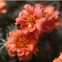 10 Plants That Beat the Summer Heat: Portulaca