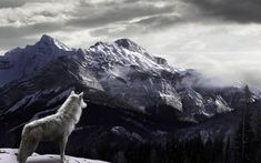 White wolf looking at the forest Animal HD desktop wallpaper, Tree wallpaper, Mountain wallpaper, Forest wallpaper, Wolf wallpaper - Animals no. Wolf Wallpaper, Nature Wallpaper, Wallpaper Backgrounds, Winter Wallpaper, Wallpaper Pictures, Wolf Background, Background Pictures, Canis Lupus, Wolf Poster