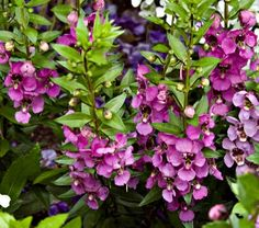 "Angelonia angustifolia Archangel™ Raspberry 12"" x 12'"
