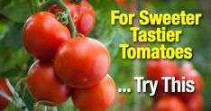 Tomato Pruning How To Use Epsom Salt For Sweeter Tastier Tomatoes - Using magnesium sulfate - epsom salt and tomato plants is known for providing wonderful benefits for tomatoes functioning as a plant fertilizer [LEARN MORE] Tomato Plant Care, Pruning Tomato Plants, Tomato Fertilizer, Tomato Farming, Fertilizer For Plants, Caring For Tomato Plants, Tomato Seedlings, Growing Tomatoes In Containers, Growing Vegetables