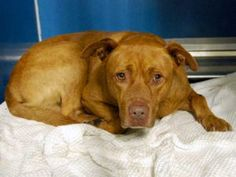 Manhattan Center BENJI – A1081804 MALE, BROWN / WHITE, AM PIT BULL TER MIX, 3 yrs STRAY – EVALUATE, NO HOLD Reason STRAY Intake condition EXAM REQ Intake Date 07/18/2016, From NY 11365, DueOut Date 07/21/2016,