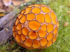 "Colorful Nature - this is Myrtle Orange Fungus ( Cyttaria Gunnii ) from ""down under"" (Australia)."