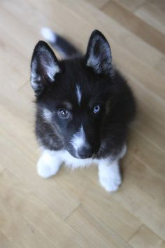 HUSKY PUPPY WITH DIFFERENT COLORED EYES.  Aw I had Dakota white a green and a blue eye.
