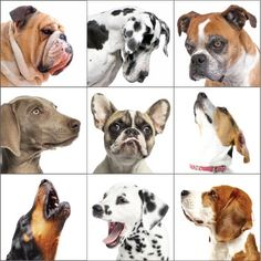 """""""Dogs, too, seem to have better than expected abstract-thinking abilities. They can reliably recognize pictures of other dogs, regardless of ..."""""""