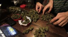 Web watchdog threatens to block Wikipedia in Russia over drug-related content http://sumo.ly/88oI  Dried marijuana © Andres Stapff