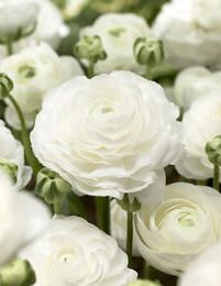 The lush, rose-like blooms of 'Tecolote White' Ranunculus are absolutely perfect additions to summer wedding decor and bouquets. Each flawless flower is comprised of thousands of pure white, c Ranunculus Wedding Bouquet, Ranunculus Flowers, White Ranunculus, Bulb Flowers, Wedding Bouquets, Wedding Flowers, Pink Peonies, Ranunculus Boutonniere, Summer Flowers