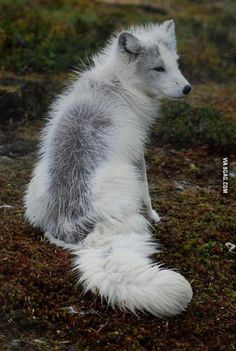 Marble fox coloration
