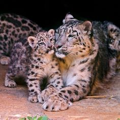 All information about Snow Leopard Cubs With Mother In Wild. Pictures of Snow Leopard Cubs With Mother In Wild and many more. Animals And Pets, Baby Animals, Funny Animals, Cute Animals, Big Cats, Cats And Kittens, Cute Cats, Beautiful Cats, Animals Beautiful