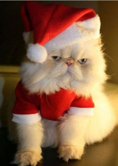 Papa Noel Gatuno. This Persian does NOT look impressed...