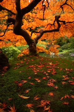 "~~Autumnal Maple ~ ""That"" Maple tree in the Japanese Gardens, Portland Oregon by Zeb Andrews~~"