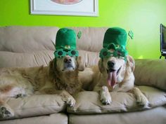 Have a great St. Paddy's Day! #golden #goldenretriever #dog