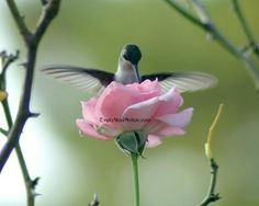 Smell the Roses Hummingbird - So sweet