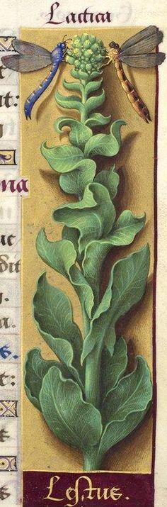 Lestus (l. lestue) - Lactica (Lactuca sativa L. = laitue) -- Grandes Heures d'Anne de Bretagne, 1503-1508.