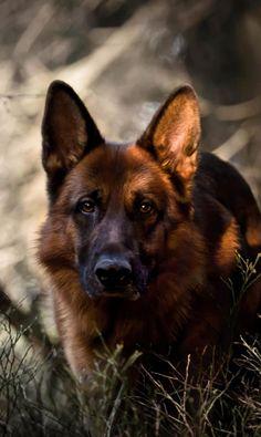 German Shepherd - Imgur