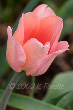 Salmon Tulip, I'm sold on this type of flower representing my work.