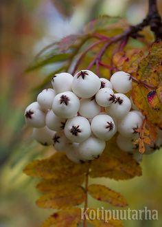 HELMIPIHLAJAT - KUUKAUDEN KASVI 11/2015. Valkomarjaisia pihlajia nimitetään helmipihlajiksi. Ne ovat kauneimmillaan syksyllä. Lehtien tyypillisin ruskaväri on tummanpunainen, mutta myös keltaisen ja punaisen kirjavia syysasuja tavataan. Kuvassa harvinaisempi sulohelmipihlaja (Sorbus prattii). Lataa artikkeli ja lue lisää pihlajista http://www.kotipuutarha.fi/puutarhavinkit/koristekasvit/helmipihlaja.html