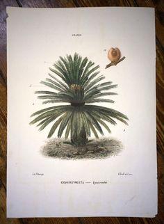 1872 sago palm original antique vegetable fruit flower botanical print - cycas revoluta