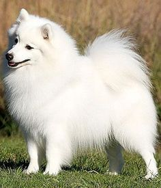 bf3b4da9e366ac6a0f1f3fb6d46c6ca3.jpg (236×275) What kind of dog is a Spitz? Dogs that are considered Spitz types cover a variety of different breeds. Some dogs that fall under the Spitz designation include Akita, Husky, Malamute, Shiba Inu, Eskimo Dog, Elkhound, Lundehund, Keeshond, Chow Chow, Pomeranian, Samoyed and Schipperke.