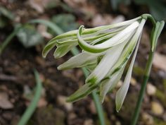 Galanthus THE ALBURGH CLAW