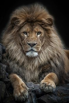 37 New ideas for tattoo lion king art big cats Lion Pictures, Animal Pictures, Portrait Pictures, Daily Pictures, Beautiful Creatures, Animals Beautiful, Big Cats, Cats And Kittens, Chat Lion