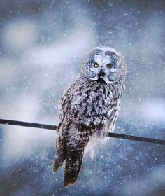 Great grey owl (strix nebulas) in heavy snowfall. Finland