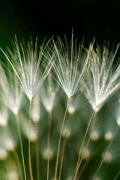 All sizes | Dandelion | Flickr - Photo Sharing!