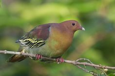 2618. Cinnamon-headed Green Pigeon (Treron fulvicollis) | found in Brunei, Indonesia, Malaysia, Myanmar, Singapore, and Thailand in subtropical or tropical mangrove forests, subtropical or tropical swamps, subtropical or tropical moist shrubland, and rural gardens