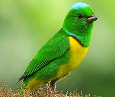 Blue-Crowned Chlorophonia