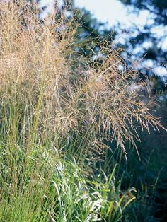 PANICUM VIRGATUM - (native) Switchgrass adds fountain-shaped beauty to a garden, soft blue-green foliage in summer; golden or spicy red tones in the fall. A warm season grass. Shade Perennials, Shade Plants, Perennial Grasses, Blue Fescue, Annual Plants, Ornamental Grasses, Plantation, Shade Garden, Gardens