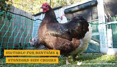 Poultry fencing for backyard chickens suitable for bantams and standard chickens