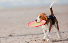 Looking for safety tips for taking your dog to the beach? Visit Animal Planet to find 5 safety tips for taking your dog to the beach. Taking Dog, Pet Friendly Hotels, Beagle Puppy, Beagle Hound, Puppy Play, Dog Beach, Dog Eyes, Dog Agility, Puppy Pictures