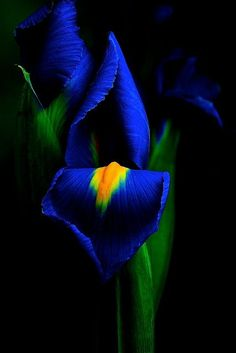 Deep blue and yellow iris