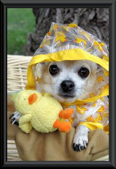 Did someone say rain? ♡... re-pin by www.StoneArtUSA.com ~ affordable custom pet memorials for everyone. #chihuahua