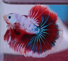 Male GALAXY Fancy Dragon Halfmoon   Betta Top and QUALITY Thai Imp,  | eBay