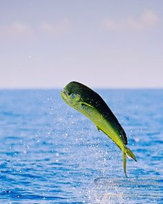 The mahi-mahi or common dolphinfish (Coryphaena hippurus) is a surface-dwelling ray-finned fish found in off-shore temperate, tropical an. Mahi Fish, Mahi Mahi, Deep Sea Fishing, Gone Fishing, Offshore Fishing, Sport Fishing, Salt And Water, Saltwater Fishing, Fauna