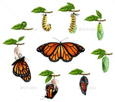 Buy Life Cycle Of Butterfly Realistic Set by macrovector on GraphicRiver. Life cycle of butterfly realistic icons set of caterpillar larva pupa imago phases vector illustration Moth Life Cycle, Cycle Of Life, Life Cycles, Butterfly Pupa, Monarch Butterfly, Butterfly Metamorphosis, Hungry Caterpillar Activities, Butterfly Life Cycle, Illustration