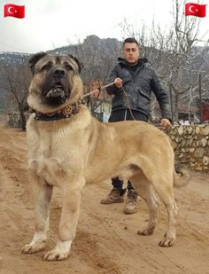 The Secrets of Bedadine for our Dogs Huge Dogs, Giant Dogs, I Love Dogs, Japanese Mastiff, Kangal Dog, Gato Grande, War Dogs, Cane Corso, Large Dog Breeds