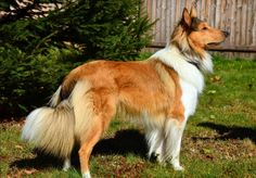 Thane, Old Time Scotch Collie