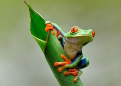 Red-eyed tree frog, one of my favorite little guys Funny Frogs, Cute Frogs, Frog Pictures, Animal Pictures, Wild Pictures, Animals Photos, Animals And Pets, Cute Animals, Red Eyed Tree Frog