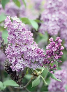 Cut lilac-Flieder schneiden When the lilac opens its magnificent flowers in May and we indulge in its scent, spring has come. So that the lilac looks good for the rest of the summer, cutting the lilac is recommended. Summer Flowers, Beautiful Flowers, Rich Brown Hair, Tall Plant Stands, Lilac Tattoo, Narcissus Flower, Tree Pruning, Pink Agate, Tall Plants