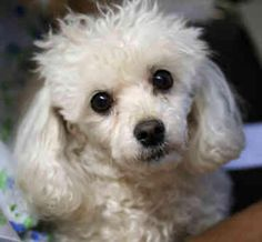 Toy poodle!