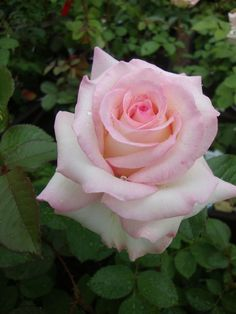 Photo of the bloom of Rose (Rosa Moonstone™) Rose Foto, Blossom Garden, Rosa Rose, Coming Up Roses, Hybrid Tea Roses, Pretty Roses, Most Beautiful Flowers, English Roses, Plantation