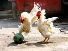 """peopleholdingchickens: """" sometimes, when chickens aren't being held, they play soccer """""""