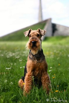 Airedales look like they would be fun...  Airedale, by Devilstar.