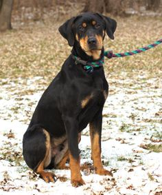 Maverick is an 11 month old black and tan, doberman/labrador mix who was surrendered with Lydia when their owners lost their house.  He is housebroken, playful and good with all dogs and people. He is neutered and up to date on shots.  He is $250.00...